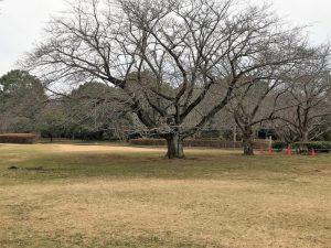 大庭城址・芝生広場の桜