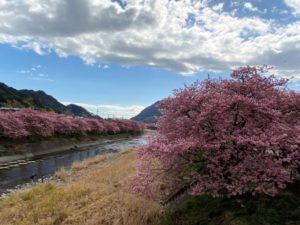 河津桜と河津川