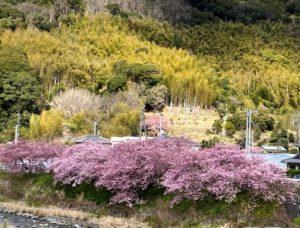 河津桜とこいのぼり