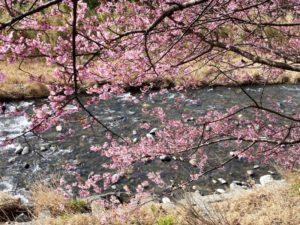 河津桜と川のせせらぎ