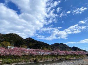河津桜と河津城跡
