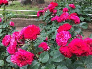 相模原北公園 薔薇