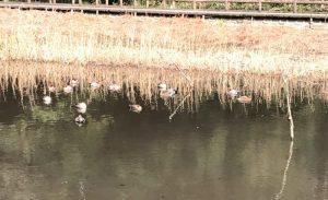 引地川の池の鴨