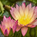 高嶺の花9