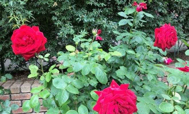 深紅のバラたち